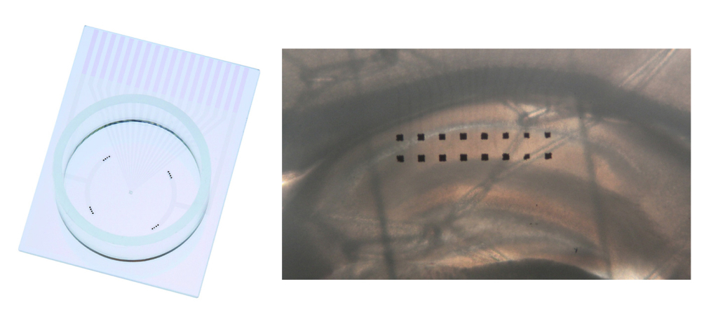 New MED Probe 16 (MED- PG501A (left) and a hippocampus slice placed on the 2x8 electrodes (right).